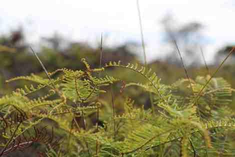 coral pouch fern