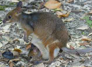 Red-legged-Pademelon-3