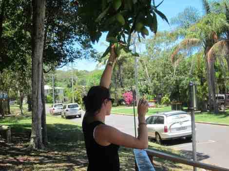 picking green mangos