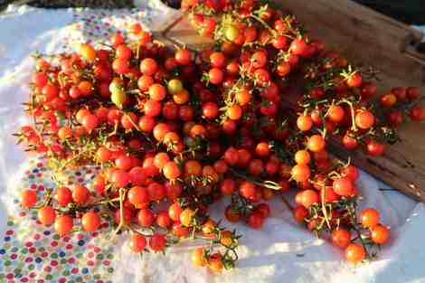 cherry tomatoes harvested