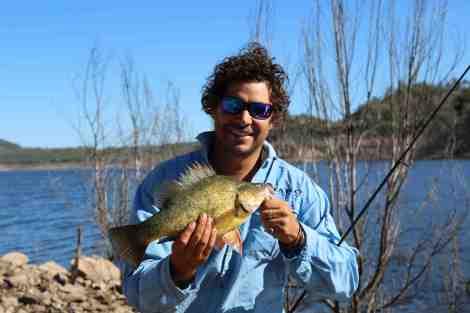 Golden perch caught in the Pindari Dam