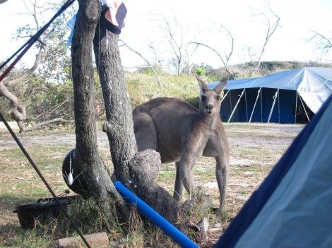 muscle bound kangaroo