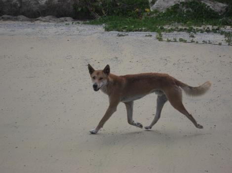 scampering dingo