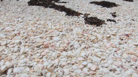sun bleached shells