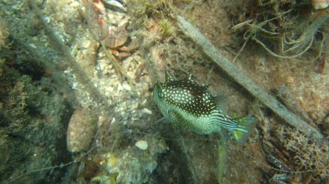box fish we saw while snorkelling