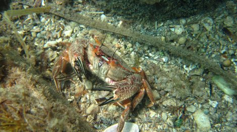 crab we saw while snorkelling