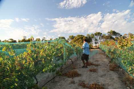 Dan netting the vines