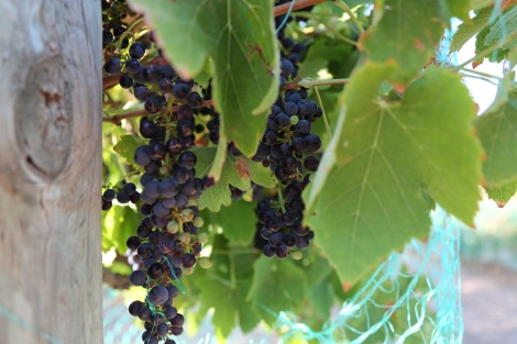 shiraz grapes